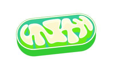 ミトコンドリアの断面図 mitochondria