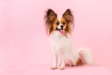 dog breed papillon white-red coloring on the pink background