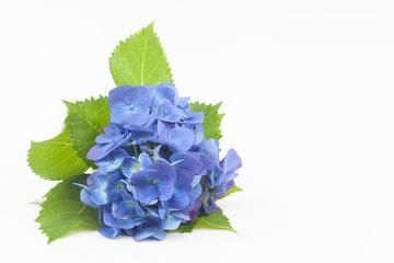 Photo sur Plexiglas Hortensia 白背景の青いアジサイ