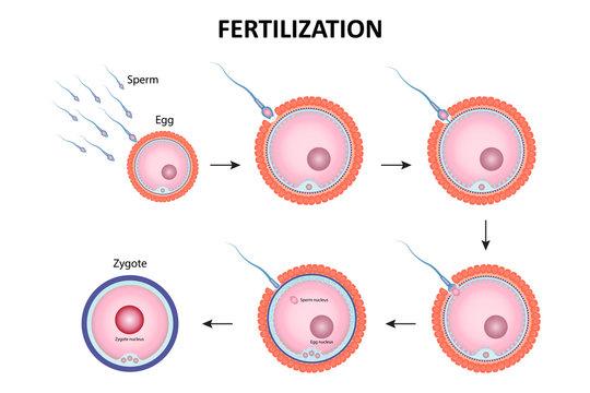 Process of human fertilization vector ESP10