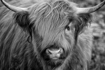 Scottish Highland Cow, Highlander, Scotland Wall mural