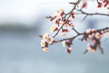 White Blossom Apricot Tree Branch, during Spring Season