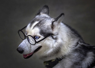 Siberian husky dog wearing glasses.