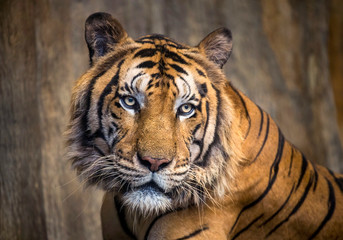 The face of Indochina tiger.