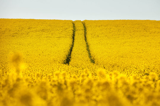 traces in rapeseed