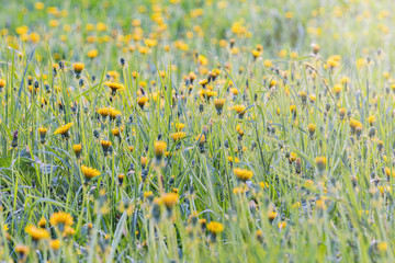 Dandelion flowers on the meadow at sunset time.