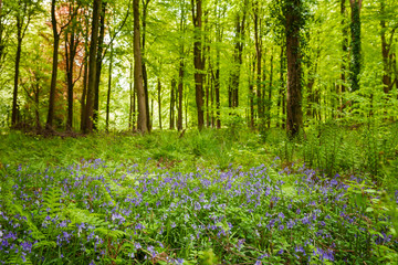 Bluebells in woodland on a sunny Spring morning in Wiltshire, Uk