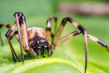 Super macro image of black and brown spider on green leaf.