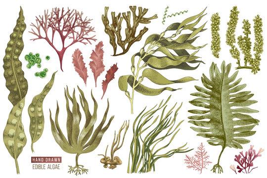 Hand drawn edible algae