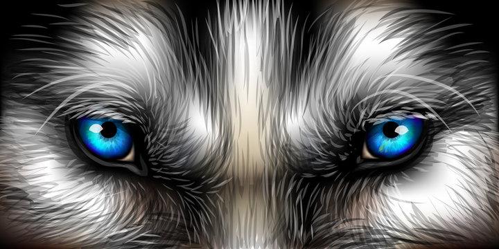 Big eyes. Siberian Husky bright blue eyes close up