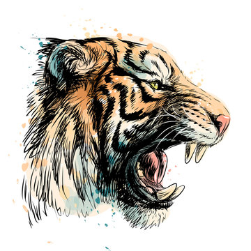 Sketchy portrait of a tiger on a white background. Watercolor splashes.