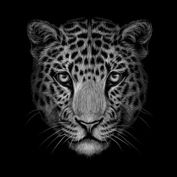 Monochrome, black and white portrait of Jaguar looking forward on a black background.