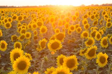 Wall Mural - sunflower flowers at the evening field