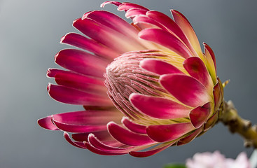 Portrait view of protea bloom blossom red color flower