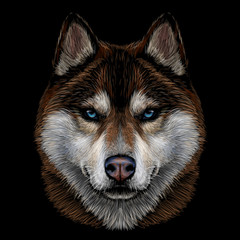 Color, graphic portrait of the Siberian Husky with brown furs and blue eyes on a black background