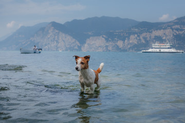 little Jack Russell Terrier plays in the water. Pet swims in the lake. Traveling with a dog