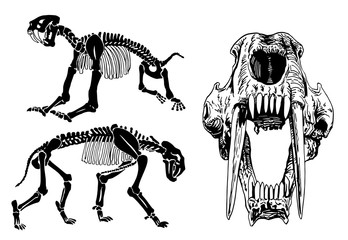 Graphical set of skeletons of saber-toothed tiger on white background,vector illustration, anthropology