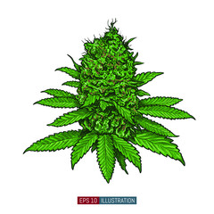 Hand drawn marijuana. Leaves and buds. Cannabis buds isolated. Template for your design works. Engraved style vector illustration.