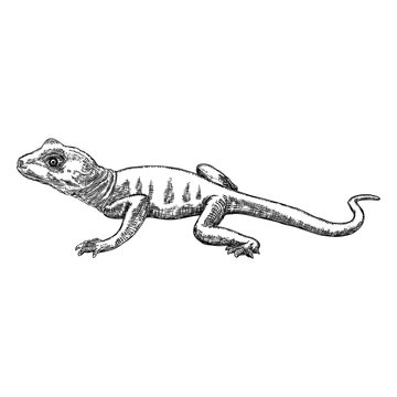 Lizard or gecko lizard isolated and hand drawn. Vector