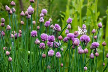 Fototapeta Lush flowering chives in the garden. Spring vegetable garden. obraz