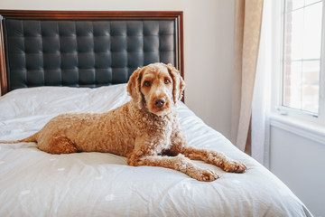 Cute adorable shameless red-haired pet dog lying on clean bed in bedroom at home. Bold domestic animal poodle goldenhoodle terrier sitting on bedroom furniture.