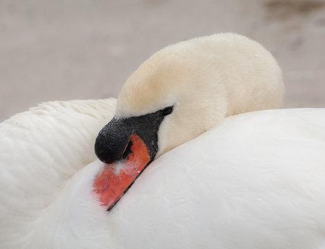 Mute swan in the winter