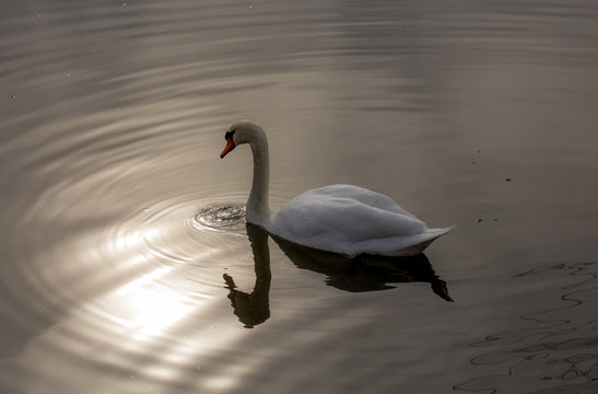 Mute swan with reflection