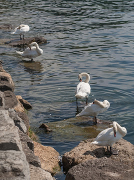 Swans cleaning feathers on shore of the lake Ontario