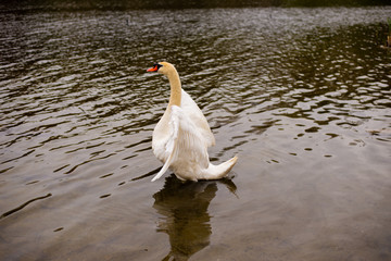 A white Swan  flapping its wings in a pond