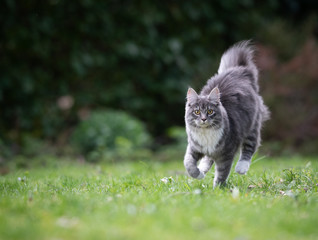 blue tabby maine coon cat running over the lawn in the back yard looking at camera