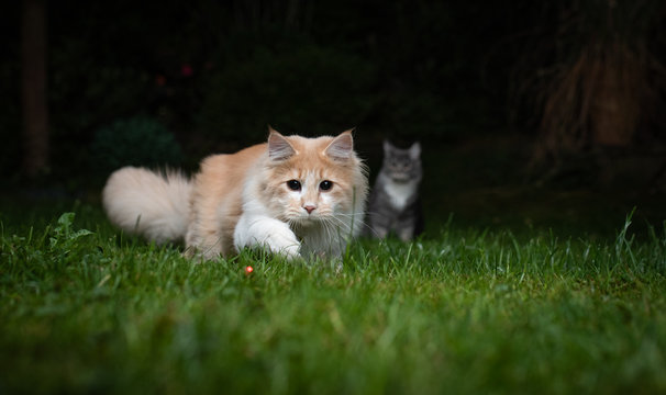 fawn cream colored maine coon cat hunting a red laser pointer dot in the back yard on the lawn at night