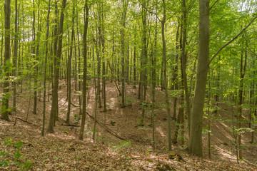 Obraz Bukowy las wiosną. - fototapety do salonu