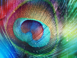 Colorful peacock feather
