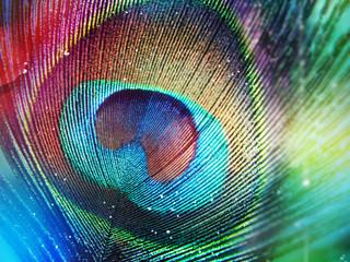 Fototapeta Colorful peacock feather obraz