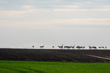 a large group of cranes standing on the horizon on a field