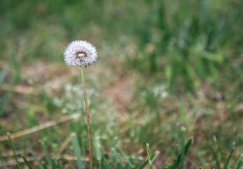 Allergy Season Dandelion Up Close