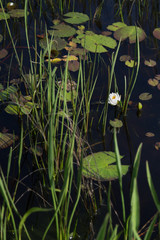 Portrait of one single white waterlily in black water with lily pads and reeds