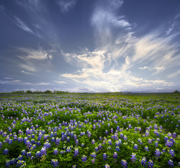 Poster Culture Texas Bluebonnet Field of Wildflowers