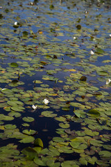Blooming American white waterlilies in a calm, dark pond with lily pads, depth of field focus on flowers