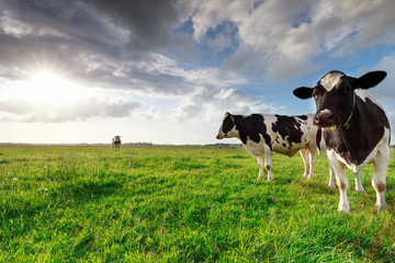 Spoed Foto op Canvas Koe milk cows on sunny pasture and sunshine