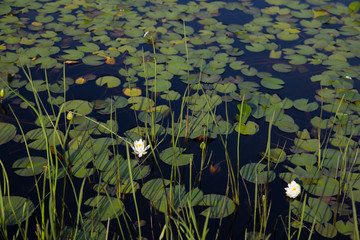 White water lily, lily pads and reeds on black water background