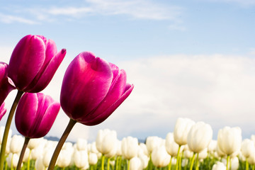Magenta Purple Tulip Flowers with white flowers blurred background green and blue horizontal