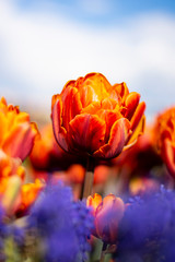 Orange Double Tulip Flower with blurred background Vertical blue flowers in foreground