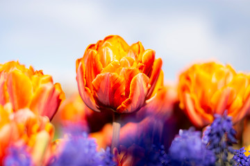 Orange Double Tulip Flower with blurred background Horizontal blue flowers in foreground