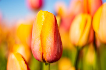 Orange Pink Tulip Flowers with blurred orange, blue, and green background horizontal