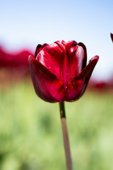 Dark wine red Tulip Flower with blurred green, and blue sky background vertical
