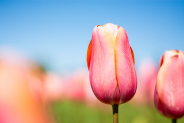 Pink tulip flower with pink, green, and blue sky blurred background horizontal