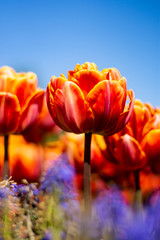 Orange Double Tulip Flower with blue sky and blurred orange and blue background vertical