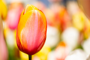 Orange and Pink Tulip with blurred background of white pink blue green orange