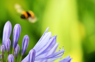 bee pollen collecting flower stock photo - African agapanthus (Agapathus africanus) with bumble bee